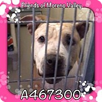 American Staffordshire Terrier Mix Dog for adoption in San Bernardino, California - URGENT! Selah