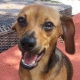 Dachshund Mix Dog for adoption in Houston, Texas - Paityn Pokes