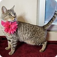 Adopt A Pet :: SABLE - EXOTIC LAP KITTY! - Plano, TX