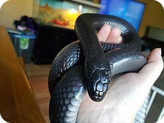 Snake for adoption in Aurora, Illinois - Chorizo