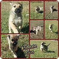 Adopt A Pet :: Gus-pending adoption - Manchester, CT