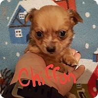 Adopt A Pet :: Chiffon - Niagra Falls, NY