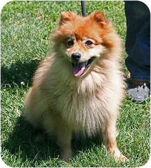 Lucky Spitz | Adopted Dog | PRINCETON, NJ | Finnish Spitz ...