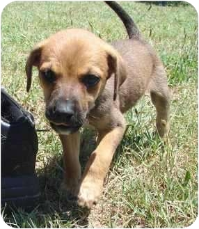 Lucy | Adopted Puppy | 3606739 | Mebane, NC | Rhodesian ...