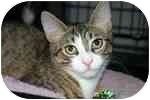 American Shorthair Kitten for adoption in Lake Ronkonkoma, New York - Junior & Mooshi