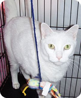 Domestic Shorthair Cat for adoption in Glendale, Arizona - Precious