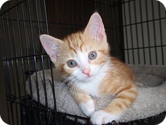 Domestic Shorthair Cat for adoption in East Brunswick, New Jersey - Ginger Boy