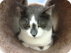 Domestic Shorthair Cat for adoption in Gilbert, Arizona - Majik