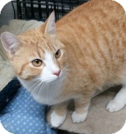 Domestic Shorthair Cat for adoption in Anchorage, Alaska - Cheerio