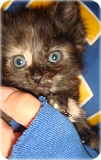 Domestic Shorthair Kitten for adoption in Palmdale, California - Arielle