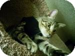 American Shorthair Cat for adoption in Modesto, California - Mischief