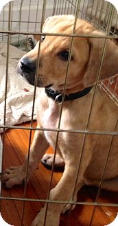 Labrador Retriever Mix Puppy for adoption in Miami, Florida - Sawyer