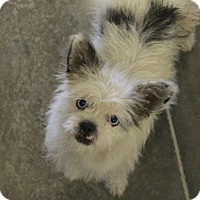 Adopt A Pet :: Perriwinkle - bright blue eyes - Phoenix, AZ