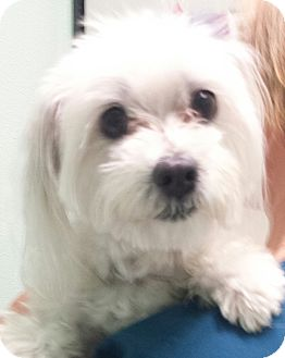 maltese rescue san diego san diego ca maltese mix meet gracie a dog for adoption 5263