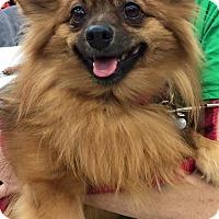 Adopt A Pet :: Cinnamon - Richmond, VA