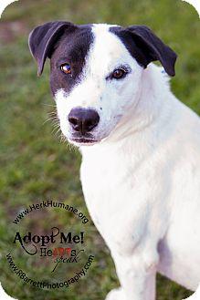 Pointer Mix Dog for adoption in Mohawk, New York - Poker
