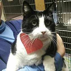 Photo 1 - Domestic Shorthair Cat for adoption in Hamilton, New Jersey - TUX