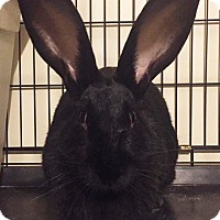 Flemish Giant for adoption in Bruce Township, Michigan - Yahtzee