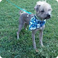 Adopt A Pet :: Scooby in Kansas - Lansing, MI