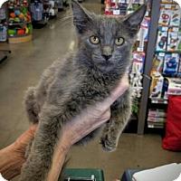 Russian Blue Kitten for adoption in Denver, Colorado - CAT-Nolan