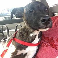 Adopt A Pet :: Cletus - Florence, KY
