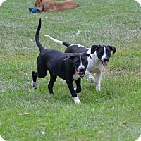Adopt A Pet :: Harry - Shaw AFB, SC