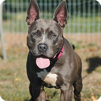 Staffordshire Bull Terrier/American Bulldog Mix Dog for adoption in Spring Lake, New Jersey - Bugsy