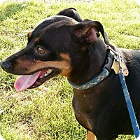 Miniature Pinscher/Dachshund Mix Dog for adoption in Macomb, Illinois - Charlie