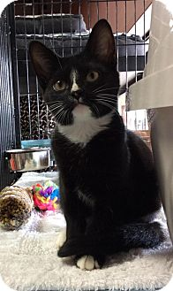 Domestic Shorthair Kitten for adoption in Breinigsville, Pennsylvania - Lea