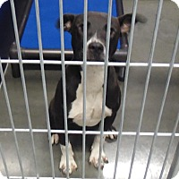 Adopt A Pet :: Joselyn - Henderson, NC