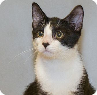 Domestic Shorthair Kitten for adoption in Elmwood Park, New Jersey - Ashton