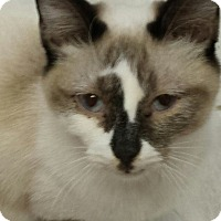 Snowshoe Cat for adoption in Owenboro, Kentucky - STORM