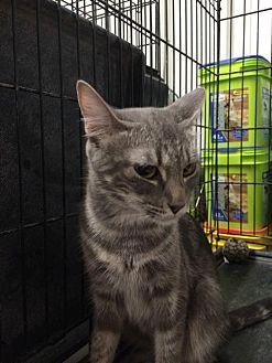 Domestic Shorthair Cat for adoption in Amarillo, Texas - Ella