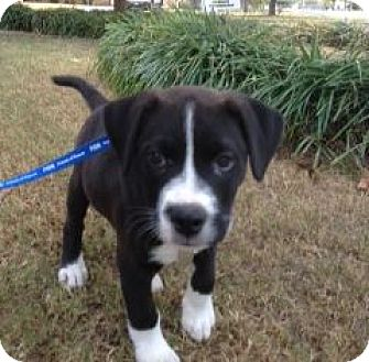 Labrador Retriever/American Bulldog Mix Puppy for adoption in Knoxville, Tennessee - Champion