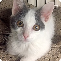 Domestic Shorthair Kitten for adoption in Brooklyn, New York - Oscar the Great