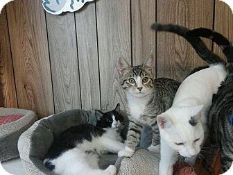 Domestic Shorthair Kitten for adoption in Parlier, California - Kitten 14602