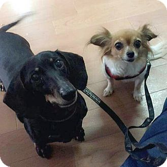 Dachshund/Chihuahua Mix Dog for adoption in Wheaton, Illinois - Reggie & Roxie