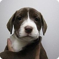 Adopt A Pet :: Baby Ginger Snap - Adoption Pending - Rockville, MD