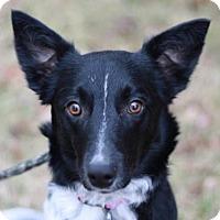 Adopt A Pet :: Brennan - Staunton, VA