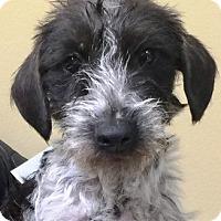 Adopt A Pet :: Truffles - Oswego, IL