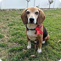 Adopt A Pet :: Bilbo - in Foster Care - Chino Hills, CA