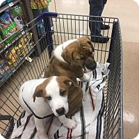 Adopt A Pet :: Gemma - Shaw AFB, SC