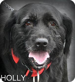 Holly Adopted Dog Georgetown Ky Mastiff Irish Wolfhound Mix