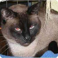 Adopt A Pet :: Bucky B. Katt - Lombard, IL