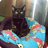 Domestic Shorthair Kitten for adoption in Westville, Indiana - Cindee