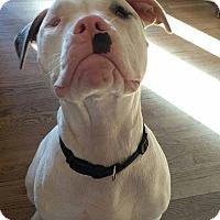 Adopt A Pet :: Olaf - East Rockaway, NY