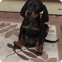 Adopt A Pet :: Darling Daisy - Marlton, NJ