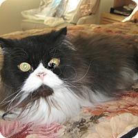 Adopt A Pet :: beethoven - Laguna Woods, CA