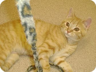 Domestic Shorthair Cat for adoption in Muscatine, Iowa - Juliette