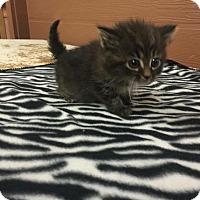 Adopt A Pet :: Daario - Danbury, CT